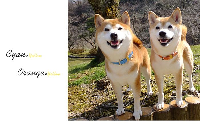 犬首輪 柴犬
